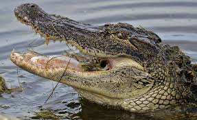 aligator2